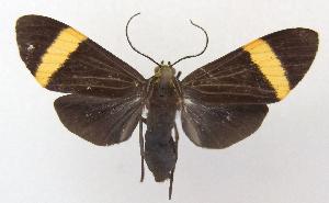 (Epidesma PP1920 - MBe0018)  @11 [ ] Copyright (2018) Unspecified Forest Zoology and Entomology (FZE) University of Freiburg