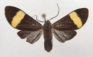 (Epidesma klagesi - MBe0019)  @11 [ ] Copyright (2018) Unspecified Forest Zoology and Entomology (FZE) University of Freiburg
