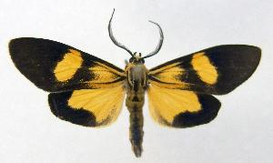 (Epidesma PP465 - MBe0021)  @11 [ ] Copyright (2018) Unspecified Forest Zoology and Entomology (FZE) University of Freiburg