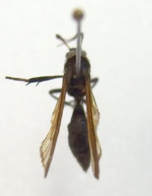 (Myrmecopsis PP211 - MBe0033)  @11 [ ] Copyright (2018) Unspecified Forest Zoology and Entomology (FZE) University of Freiburg