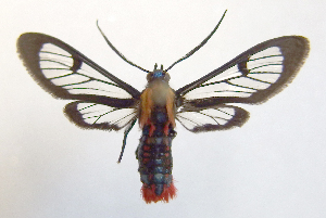 (Phoenicoprocta 17-1700_2 - MBe0061)  @11 [ ] Copyright (2018) Unspecified Forest Zoology and Entomology (FZE) University of Freiburg