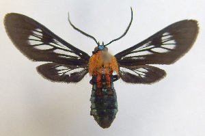 (Phoenicoprocta 17-1700_3 - MBe0062)  @11 [ ] Copyright (2018) Unspecified Forest Zoology and Entomology (FZE) University of Freiburg