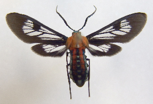 (Phoenicoprocta 17-1300_2 - MBe0064)  @11 [ ] Copyright (2018) Unspecified Forest Zoology and Entomology (FZE) University of Freiburg