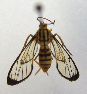 (Sphecosoma P1051 - MBe0087)  @11 [ ] Copyright (2018) Unspecified Forest Zoology and Entomology (FZE) University of Freiburg