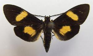 (Epidesma MBPP1934 - MBe0101)  @11 [ ] © (2019) Unspecified Forest Zoology and Entomology (FZE) University of Freiburg
