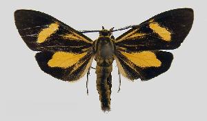 (Epidesma MBPP1930 - MBe0103)  @11 [ ] © (2019) Unspecified Forest Zoology and Entomology (FZE) University of Freiburg