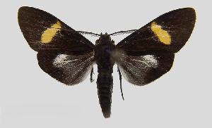 (Epidesma MBPP1931 - MBe0104)  @11 [ ] © (2019) Unspecified Forest Zoology and Entomology (FZE) University of Freiburg
