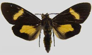 (Epidesma MBPP1933 - MBe0105)  @11 [ ] © (2019) Unspecified Forest Zoology and Entomology (FZE) University of Freiburg