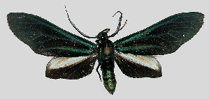 (Antichloris scudderii - MBe0108)  @11 [ ] © (2019) Unspecified Forest Zoology and Entomology (FZE) University of Freiburg