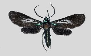 (Uranophora MBPP121 - MBe0112)  @11 [ ] © (2019) Unspecified Forest Zoology and Entomology (FZE) University of Freiburg