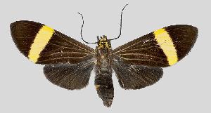 (Epidesma crameri - MBe0117)  @11 [ ] © (2019) Unspecified Forest Zoology and Entomology (FZE) University of Freiburg