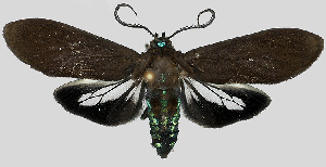 (Aclytia braevea - MBe0122)  @11 [ ] © (2019) Unspecified Forest Zoology and Entomology (FZE) University of Freiburg