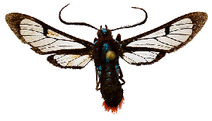 (Phoenicoprocta MBML01 - MBe0124)  @11 [ ] © (2019) Unspecified Forest Zoology and Entomology (FZE) University of Freiburg