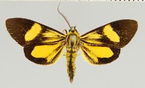 (Epidesma MBMUSM06 - MBe0131)  @11 [ ] © (2019) Unspecified Forest Zoology and Entomology (FZE) University of Freiburg