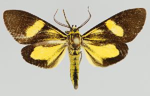 (Epidesma MBMUSM08 - MBe0133)  @11 [ ] © (2019) Unspecified Forest Zoology and Entomology (FZE) University of Freiburg