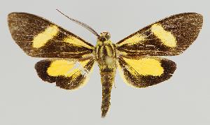 (Epidesma MBMUSM09 - MBe0134)  @11 [ ] © (2019) Unspecified Forest Zoology and Entomology (FZE) University of Freiburg
