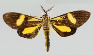 (Epidesma MBMUSM11 - MBe0136)  @11 [ ] © (2019) Unspecified Forest Zoology and Entomology (FZE) University of Freiburg