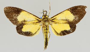 (Epidesma MBMUSM12 - MBe0137)  @11 [ ] © (2019) Unspecified Forest Zoology and Entomology (FZE) University of Freiburg