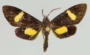 (Epidesma MBMUSM13 - MBe0138)  @11 [ ] © (2019) Unspecified Forest Zoology and Entomology (FZE) University of Freiburg