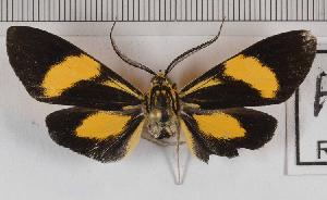 (Epidesma MBRvM02 - MBe0144)  @11 [ ] © (2019) Unspecified Forest Zoology and Entomology (FZE) University of Freiburg