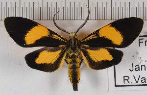 (Epidesma MBRvM03 - MBe0145)  @11 [ ] © (2019) Unspecified Forest Zoology and Entomology (FZE) University of Freiburg