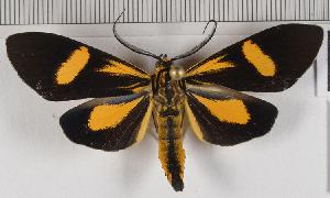 (Epidesma MBRvM06 - MBe0148)  @11 [ ] © (2019) Unspecified Forest Zoology and Entomology (FZE) University of Freiburg