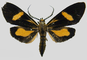 (Epidesma MBPP1918 - MBe0149)  @11 [ ] © (2019) Unspecified Forest Zoology and Entomology (FZE) University of Freiburg
