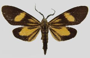 (Epidesma MBPP1922 - MBe0150)  @11 [ ] © (2019) Unspecified Forest Zoology and Entomology (FZE) University of Freiburg