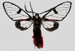 (Dinia MBPP218 - MBe0180)  @15 [ ] © (2019) Unspecified Forest Zoology and Entomology (FZE) University of Freiburg