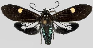 (Aclytia MBPP247 - MBe0181)  @11 [ ] © (2019) Unspecified Forest Zoology and Entomology (FZE) University of Freiburg
