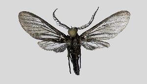 (Pseudomya nr. tipulina - MBe0185)  @11 [ ] © (2019) Unspecified Forest Zoology and Entomology (FZE) University of Freiburg