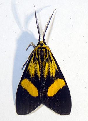 (Epidesma MB11533 - MBe0201)  @11 [ ] © (2019) Unspecified Forest Zoology and Entomology (FZE) University of Freiburg