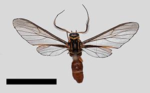 (Sphecosoma testacea - MBe0240)  @11 [ ] © (2019) Unspecified Forest Zoology and Entomology (FZE) University of Freiburg