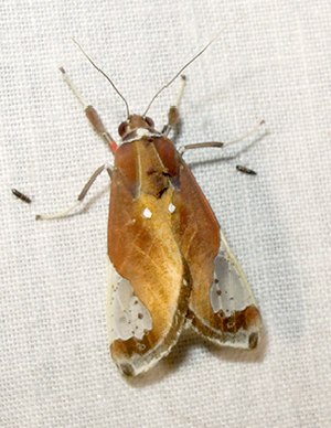 (Bertholdia MBPP1015 - MBe0243)  @11 [ ] © (2019) Unspecified Forest Zoology and Entomology (FZE) University of Freiburg
