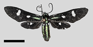 (Leucotmemis MBPP117 - MBe0245)  @11 [ ] © (2019) Unspecified Forest Zoology and Entomology (FZE) University of Freiburg
