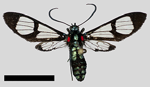 (Saurita MBPP206 - MBe0246)  @11 [ ] © (2019) Unspecified Forest Zoology and Entomology (FZE) University of Freiburg