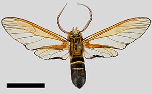 (Sarosa aterrima - MBe0255)  @11 [ ] © (2019) Unspecified Forest Zoology and Entomology (FZE) University of Freiburg