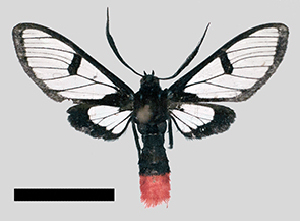 (Aethria aner - MBe0260)  @11 [ ] © (2019) Unspecified Forest Zoology and Entomology (FZE) University of Freiburg