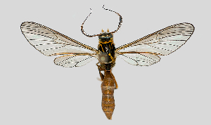 (Sphecosoma nr. testacea - MBe0306)  @11 [ ] © (2020) Unspecified Forest Zoology and Entomology (FZE) University of Freiburg