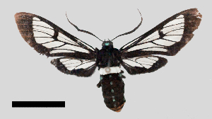 (Autochloris whitelyi - MBe0312)  @11 [ ] © (2020) Unspecified Forest Zoology and Entomology (FZE) University of Freiburg