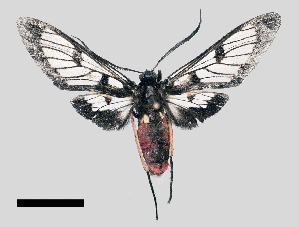 (Autochloris bijuncta - MBe0313)  @13 [ ] © (2020) Unspecified Forest Zoology and Entomology (FZE) University of Freiburg