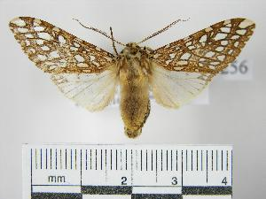 (Lophocampa griseidorsata - BEVI0256)  @14 [ ] Copyright (2010) Benoit Vincent Research Collection of Benoit Vincent