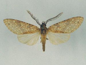 (Lophocampa pectina - BEVI0040)  @14 [ ] Copyright (2010) Benoit Vincent Research Collection of Benoit Vincent