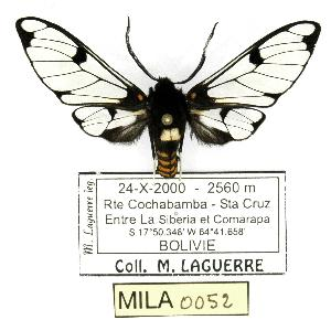 (Homoeocera duronia - MILA 0052)  @14 [ ] Copyright (2010) Michel Laguerre Research Collection of Michel Laguerre