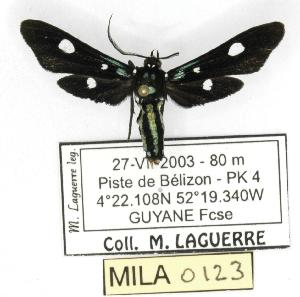 (Calonotos angustipennis - MILA 0123)  @13 [ ] Copyright (2010) Michel Laguerre Research Collection of Michel Laguerre
