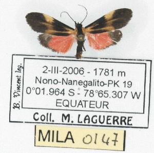 (Lycomorphodes flavipars - MILA 0147)  @13 [ ] Copyright (2010) Michel Laguerre Research Collection of Michel Laguerre