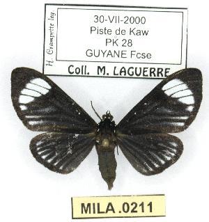 (Calodesma approximata - MILA 0211)  @14 [ ] Copyright (2010) Michel Laguerre Research Collection of Michel Laguerre