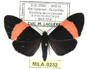(Thyrgis phlegon - MILA 0232)  @13 [ ] Copyright (2010) Michel Laguerre Research Collection of Michel Laguerre