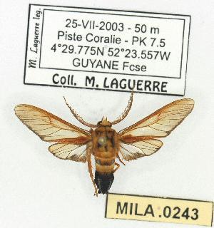 (Sarosa acutior - MILA 0243)  @13 [ ] Copyright (2010) Michel Laguerre Research Collection of Michel Laguerre