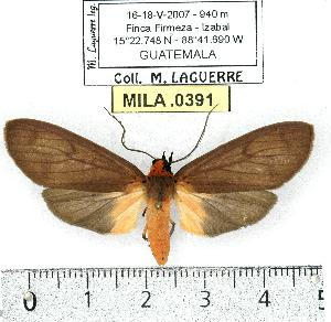 (Pelochyta draudti - MILA 0391)  @14 [ ] Copyright (2010) Michel Laguerre Research Collection of Michel Laguerre